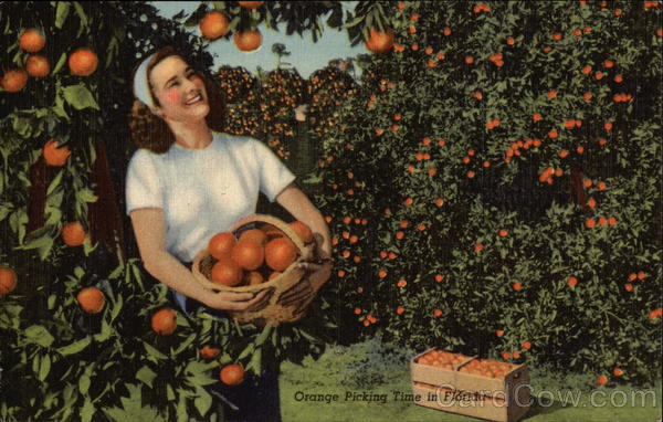 Orange Picking Time in Florida