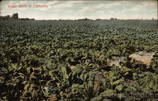 Sugar Beets in California