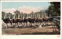 """Charge of the Light Brigade"" - A Herd of Ostriches"