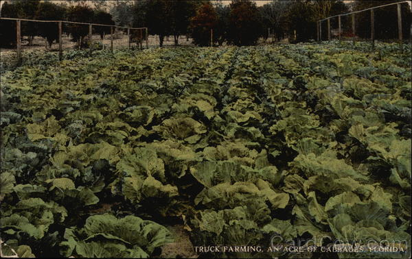 Truck Farming, An Acre of Cabbages Florida