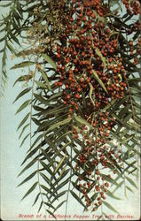 Branch of Pepper Tree with Berries