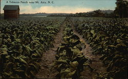 Tobacco Patch