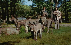 Catskill Game Farm - African Pygmy Donkeys