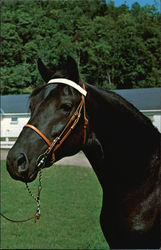 Orcland Bold Fox - Morgan Black Stallion at Green Mountain Stock Farm Postcard