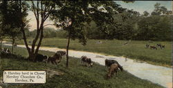 A Hershey herd in Clover, Hershey Chocolate Company
