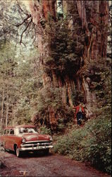 World's Largest Red Cedar