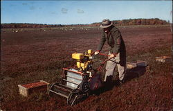 Cranberry Harvest on Cape Cod