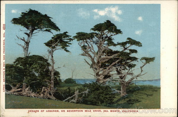 Cedars of Lebanon on Seventeen Mile Drive Del Monte California