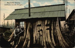 Big Cedar Stume - used as a House