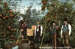 Picking Apples in an Oregon Orchard