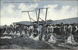 A Crew of Sheep Shearers at Work