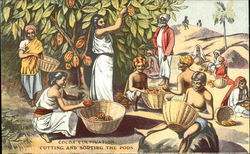 Cocoa Cultivation, Cutting and Sorting the Pods