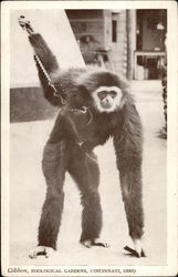 Gibbon, Zoological Gardens, Cincinnati, Ohio