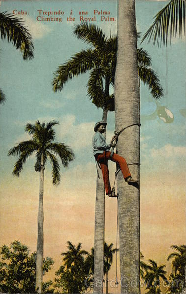 Climbing the Royal Palm Cuba