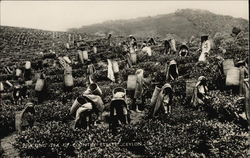 Plucking Tea - Up County Estate