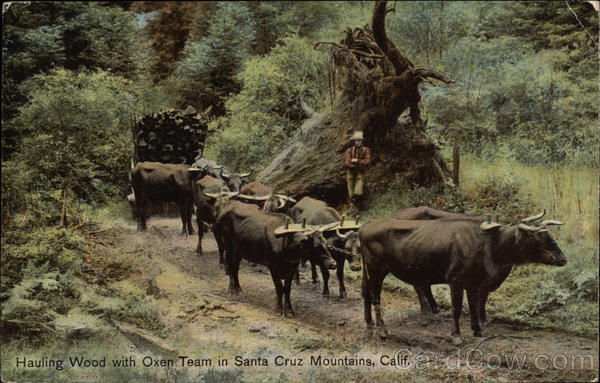 Hauling Wood with Oxen Team in Santa Cruz Mountains California