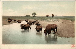 Buffalo at Water