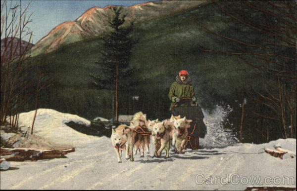 A Team of Ed Clark's Eskomo Sled Dogs in Action North Woodstock New Hampshire