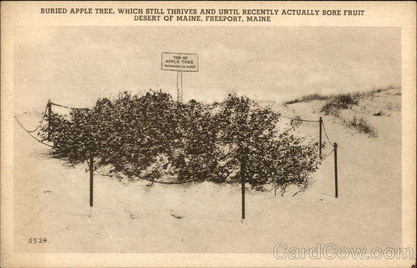 Buried Apple Tree Freeport Maine