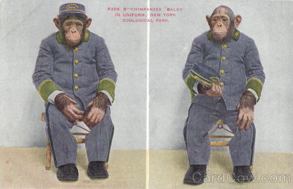Chimpanzee Baldy In Uniform, New York Zoological Park