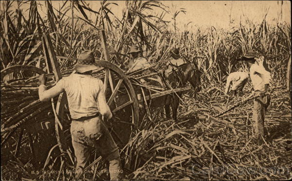 Reaping Sugar Cane Trinidad Caribbean Islands