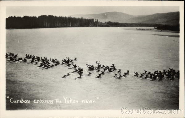 Caribou Crossing the Yukon River