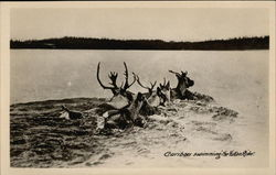 Caribou Swimming in the Yukon River