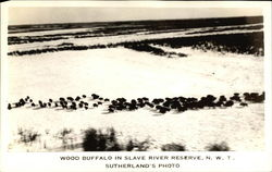 Wood Buffalo in Slave River Reserve