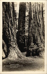 Forest Giants, Muir Woods