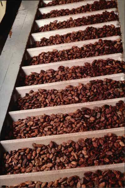 Raw Cocoa Beans, Hershey Chocolate Company