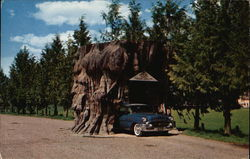 Giant Cedar Stump on Highway 99, Washington