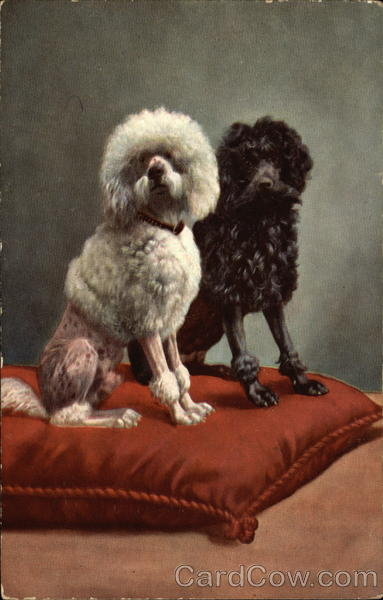 Black and White Poodles Dogs