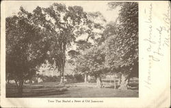 Trees that Shaded a Street of Old Jamestown