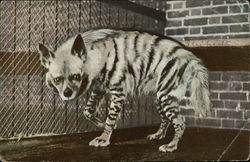 Striped Hyena (Hyaena Straiata)