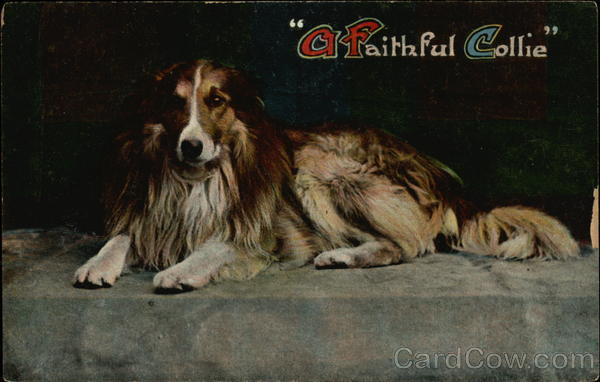 A Faithful Collie Dogs
