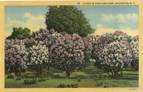Lilacs In Highland Park Rochester New York