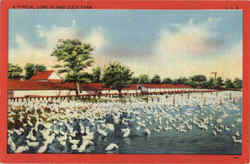 A Typical Long Island Duck Farm