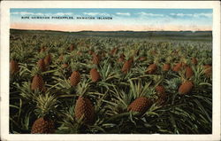 Ripe Hawaiian Pineapples, Northwestern Hawaiian Islands