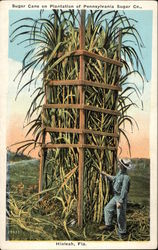 Sugar Cane on Plantation of Pennsylvania Sugar Co
