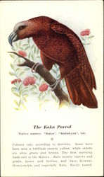 The Kaka Parrot Native Names: Kaka, Kakakura, etc
