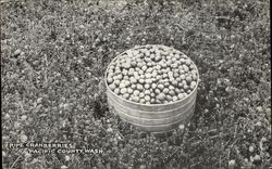 Barrel of Ripe Cranberries - Pacific County, Washington