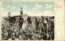 Harvest, Cotton Fields in Arkansas