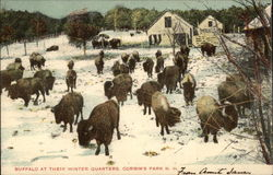Buffalo at Their Winter Quarters, Corbin's Park