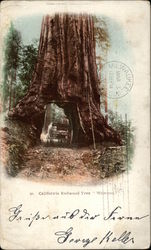 California Redwood Tree, Wawons