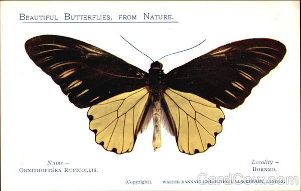 Ornithopera Ruficollis Butterfly from Borneo