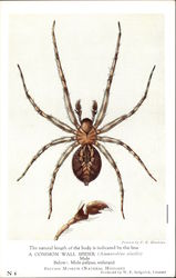 The Natural Length of the Body is Indicated by the Line, A Common Wall Spider