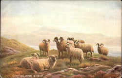 Highland Sheep on a Hill