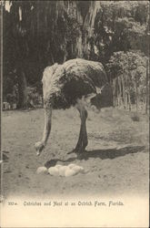 Ostriches and Nest at an Ostrich Farm
