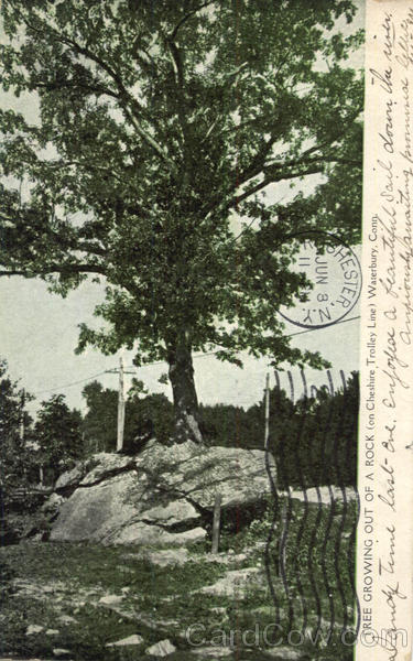 Tree Growing Out Of A Rock Waterbury Connecticut