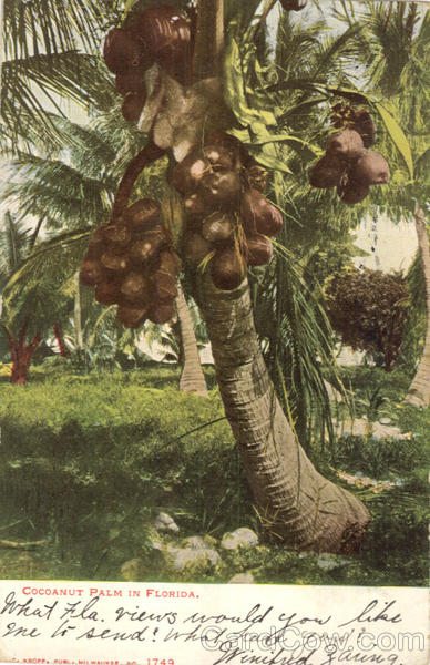 Coconut Palm In Florida Scenic
